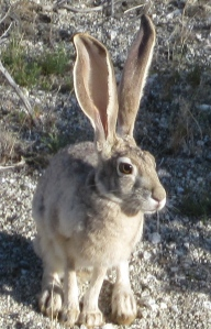 Blacktailed Jackrabbit off the Palm Canyon Trail.