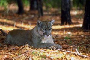 blphotos-cougar5