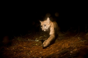Mountain-Lion-at-Night