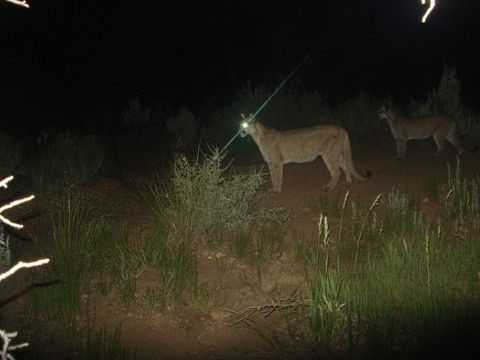 Encounter With a Mountain Lion on the Pacific Crest Trail & Encounter With a Mountain Lion on the Pacific Crest Trail | the late ...