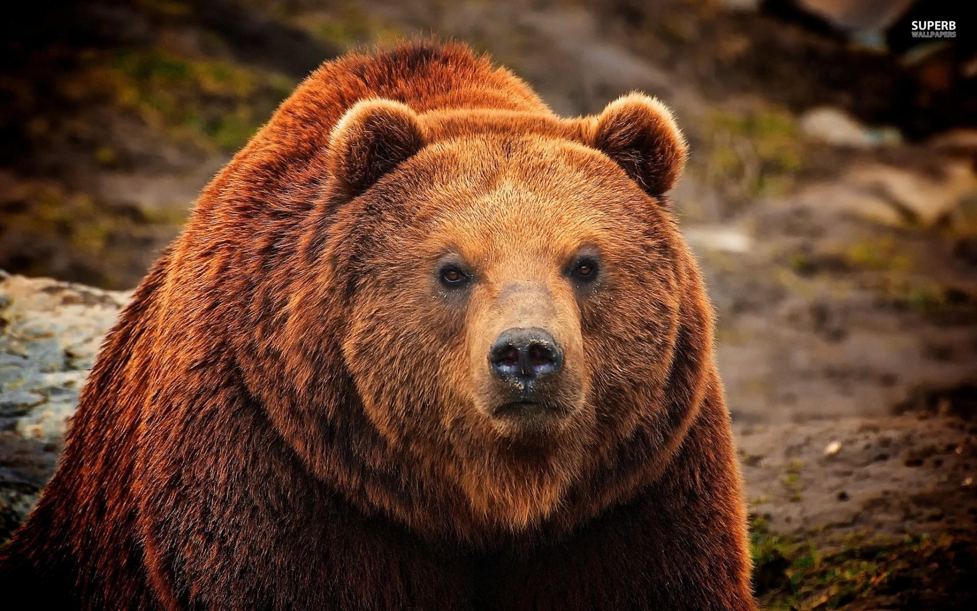bears - photo #5