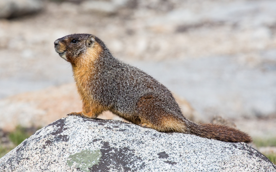 Marmota_flaviventris_(Yellow_Bellied_Marmot),_Yosemite_NP_-_Diliff